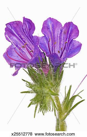 Pictures of Purple vipers bugloss (echium plantagineum) x25512778.