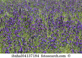 Purple vipers bugloss Stock Photos and Images. 54 purple vipers.