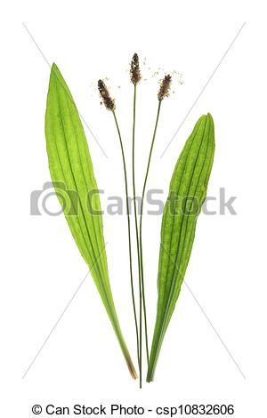 Stock Photography of Ribwort plantain (Plantago lanceolata.