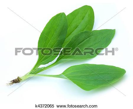 Stock Image of A plantain(Plantago) k4372065.