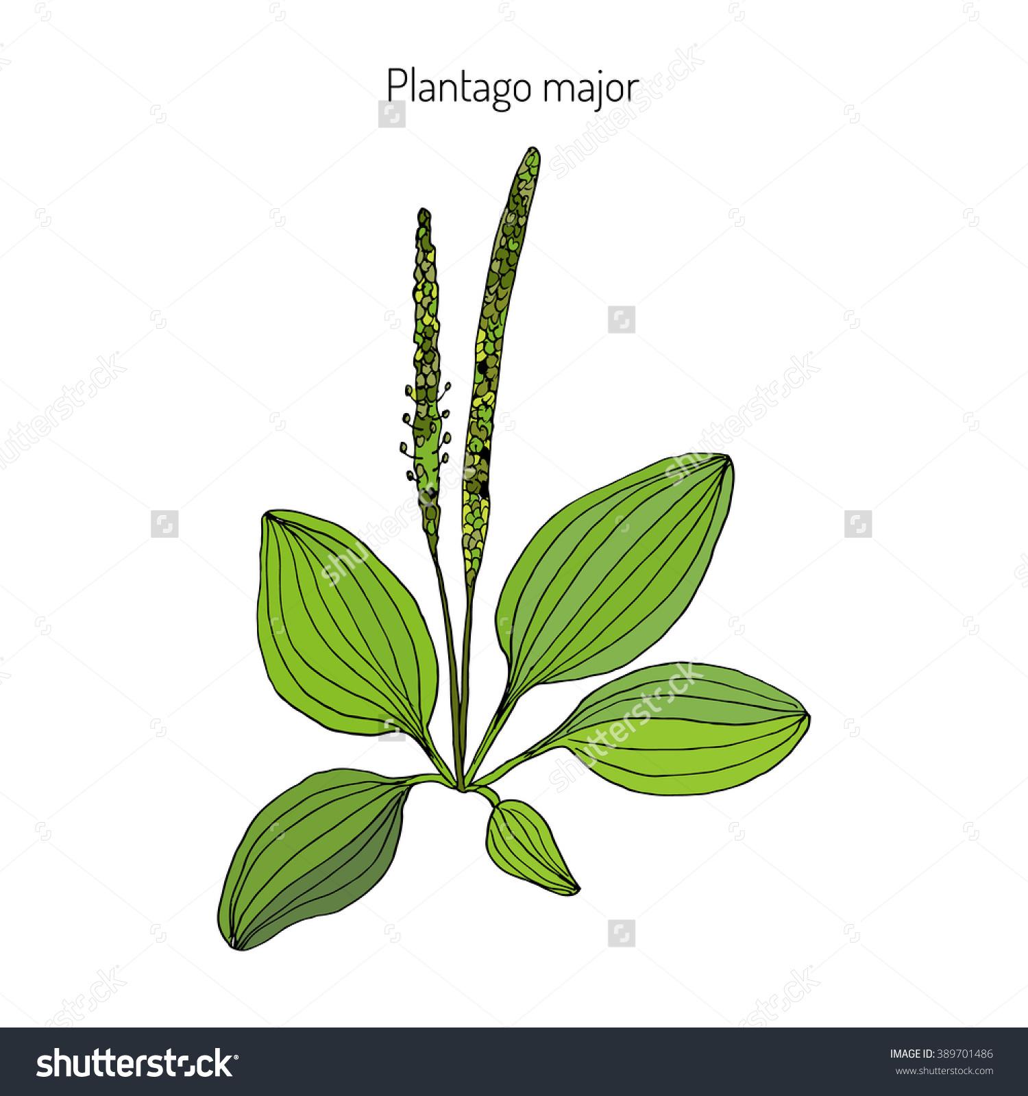 Great Plantain Plantago Major Medicinal Plant Stock Vector.