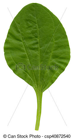 Stock Photo of Greater plantain (Plantago major) leaf isolated on.