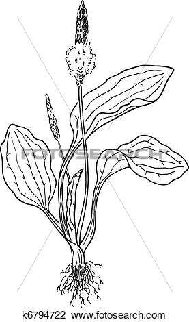 Clipart of Plantain (Plantago) k6794722.
