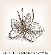 Plantago Clip Art Vector Graphics. 14 plantago EPS clipart vector.