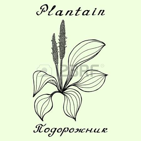 74 Plantago Cliparts, Stock Vector And Royalty Free Plantago.