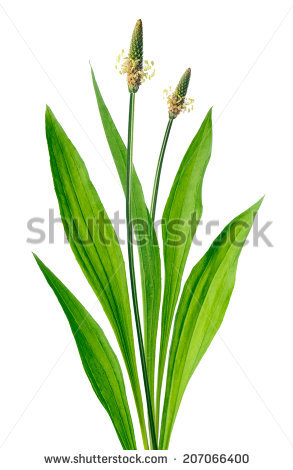 Plantago Lanceolata Stock Photos, Royalty.