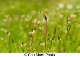 Stock Photography of Ribwort plantain (Plantago lanceolata.