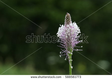 Plantago Stock Images, Royalty.