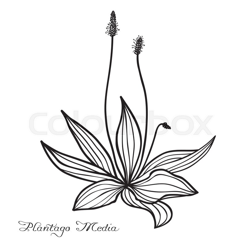 Hand drawn Plantago media (hoary plantain), vector sketch, ink.