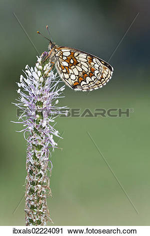 Stock Photography of Heath fritillary (Mellicta athalia) on a.