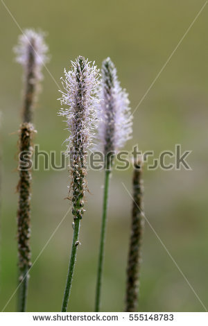 Plantago Stock Photos, Royalty.