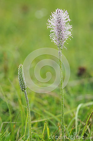 Hoary Plantain (Plantago Media) Stock Images.