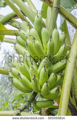 Banana Tree Fruit Blossom Stock Photos, Royalty.