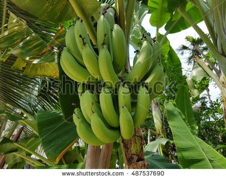 Blossom Of Banana Tree Stock Photos, Royalty.