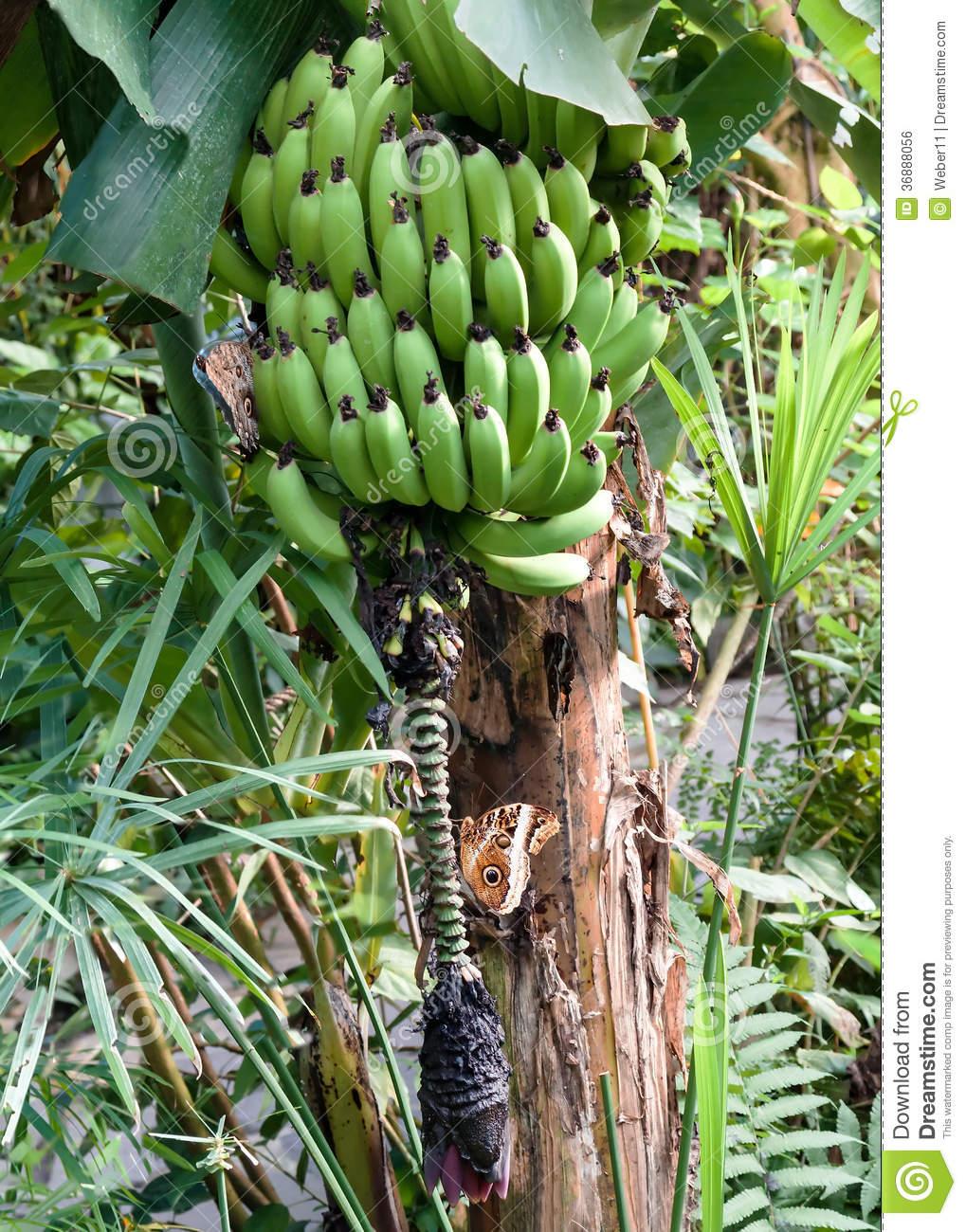 Banana Tree Royalty Free Stock Image.