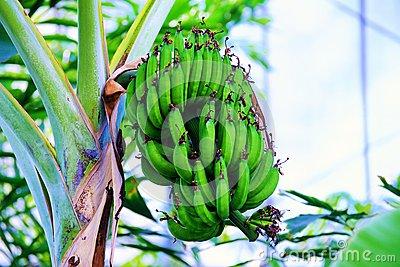 Banana Tree Stock Photo.