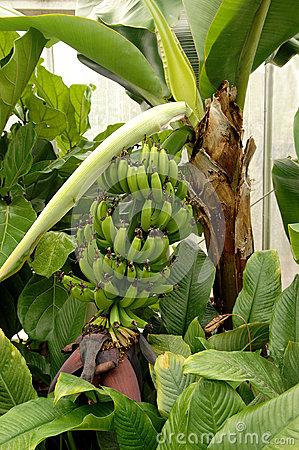 Banana Greenhouse Stock Photo.