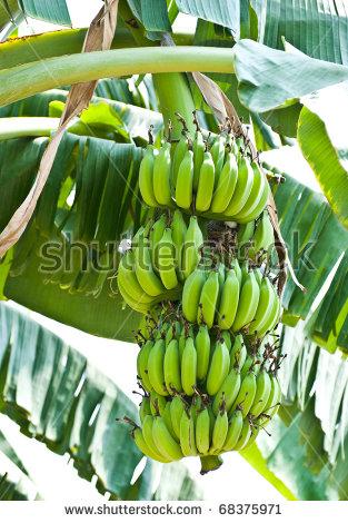 """""""blossom Of Banana Tree"""" Stock Photos, Royalty."""