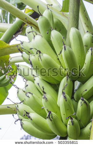 Banana Tree Fruit Blossom Stock Photos, Royalty.