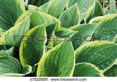 Stock Photography of hosta aureomarginata montana (plantain lily.