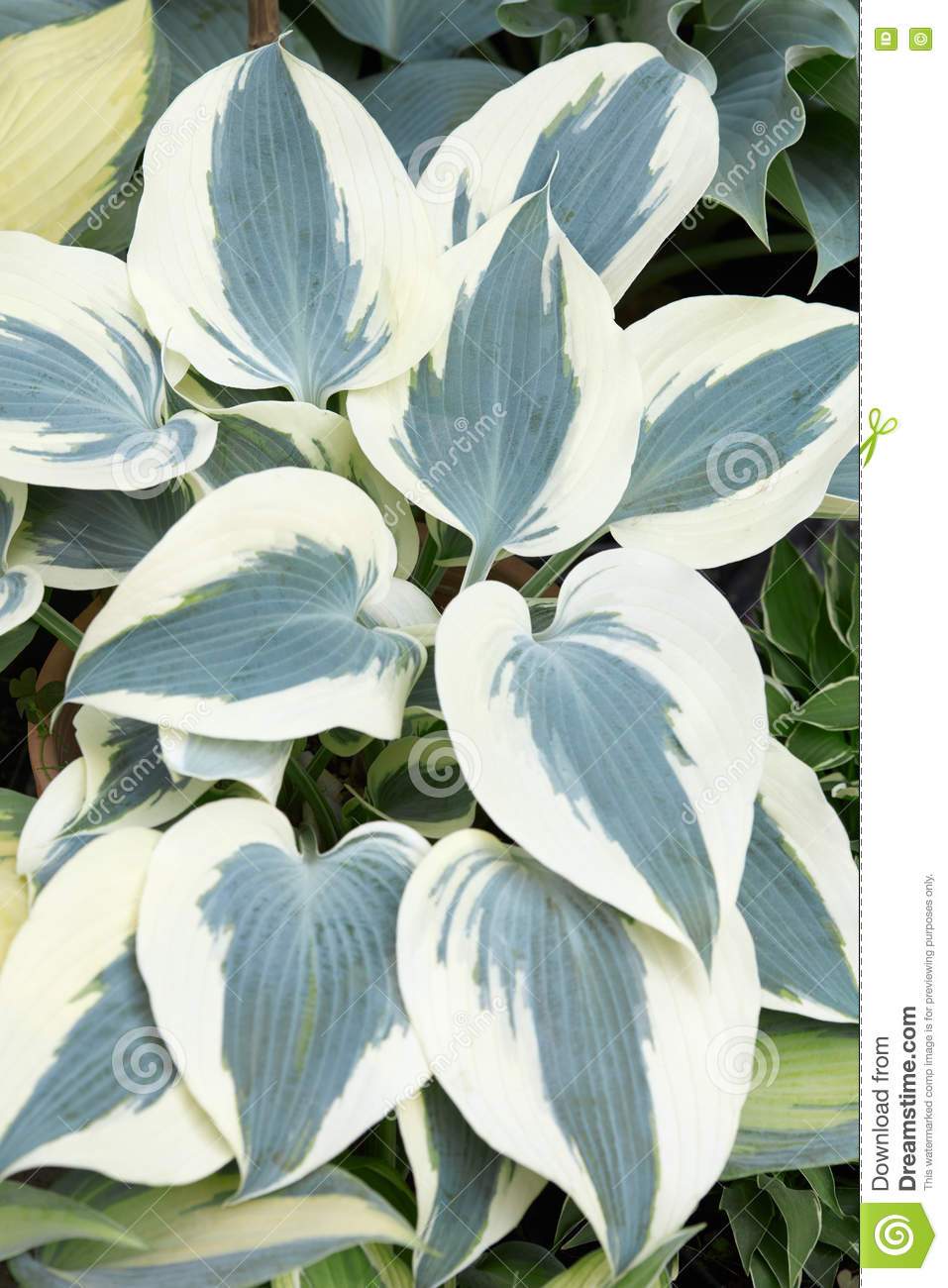Hosta Or Plantain Lilies With White And Green Leaves Stock Photo.