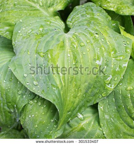Plantain Lily Stock Photos, Royalty.