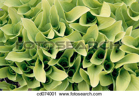 Stock Photography of Plantain Lily (Hosta sp.) cd074001.