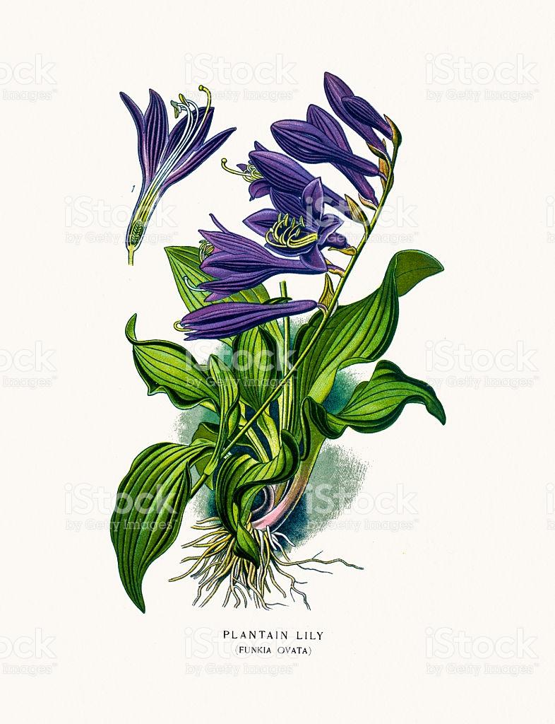 Hosta Plantain Lily House Plant stock vector art 585591210.