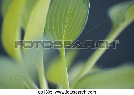 Stock Image of June Plantain Lily close ups jcp1305.