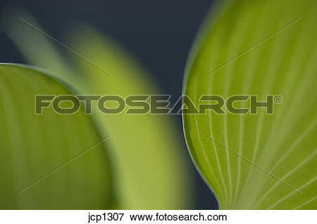 Picture of June Plantain Lily close ups jcp1307.