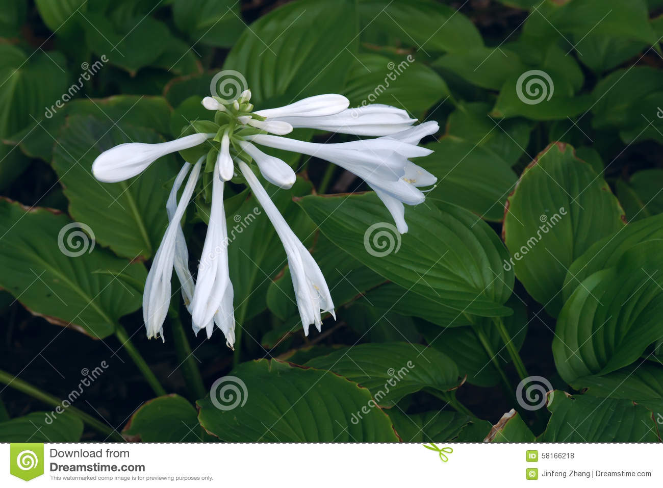Fragrant Plantain Lily Stock Photo.