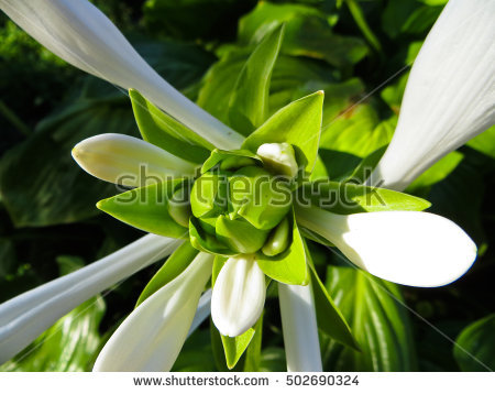 Plantain Lily Stock Photos, Royalty.