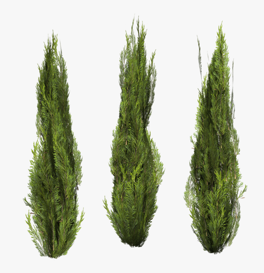 Tree Bush Png.