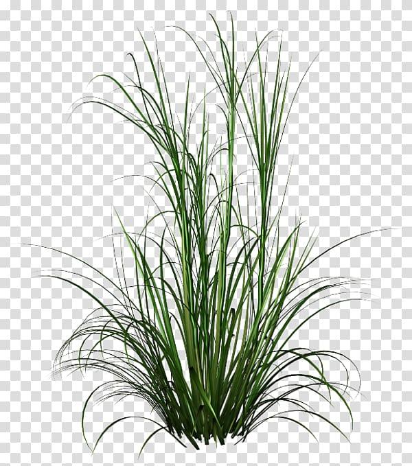 Fountain grass Ornamental grass , plantes transparent.