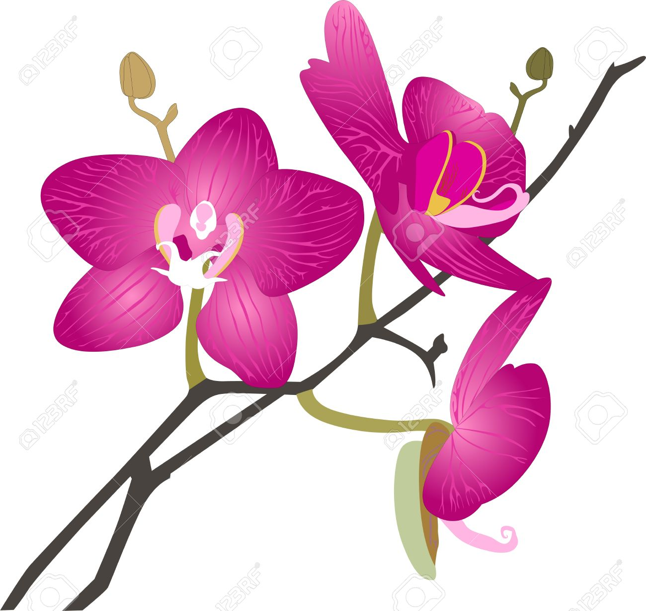 Orchids Flowers It Is Isolated Royalty Free Cliparts, Vectors, And.