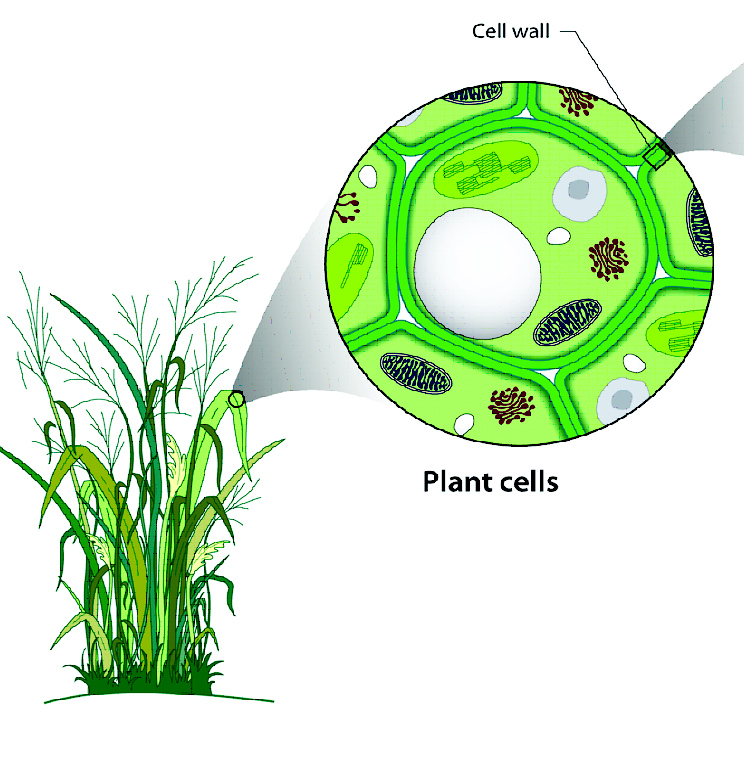 an analysis of cellulose in cell walls of plants All growing plant cells are surrounded by a polysaccharide-rich primary wall (o'neill and york, 2003) the structural complexities of the wall polysaccharides suggest that plants invest significant amounts of energy and nutrient resources to synthesize and modify their walls during growth and development (doblin et al 2003 rose et al 2003.