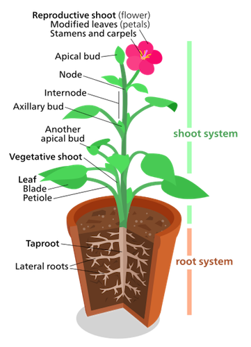 Plant Shoot System: Structure & Function.