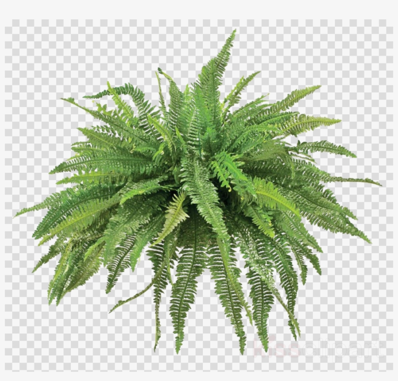 Download Free png Plants Clipart Fern Vascular Plant Plants.