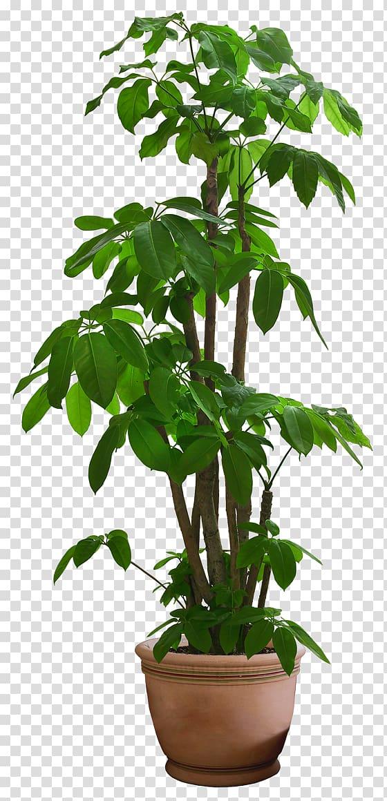 Green leafed plant, Guiana Chestnut Houseplant Tree.