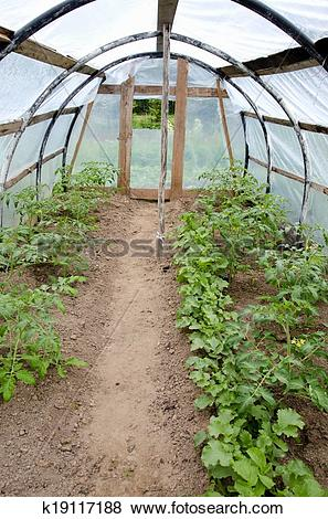 Pictures of green tomato sprouts in primitive plastic greenhouse.