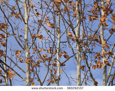 Platane Tree Stock Photos, Images, & Pictures.