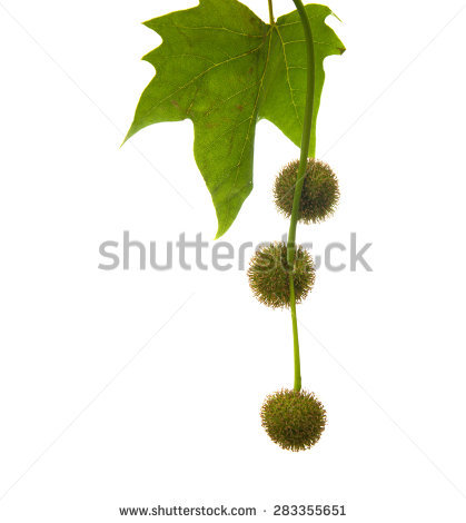 Platanaceae Stock Photos, Royalty.