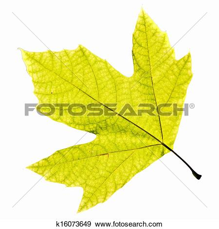 Stock Illustration of Platanus Leaf Isolated k16073649.