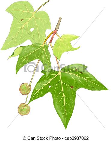 Sycamore Clip Art and Stock Illustrations. 460 Sycamore EPS.