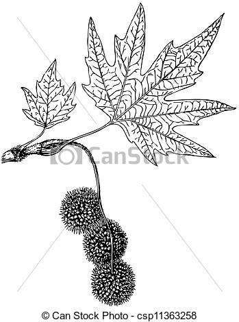 Clipart Vector of Plant Platanus orientalis.