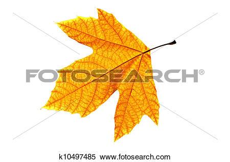 Stock Image of Platanus Leaf Isolated k10497485.