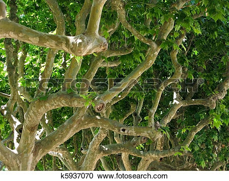 Stock Photography of Platanus acerifolia k5937070.