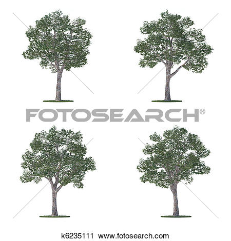 Clipart of platanus trees collection isolated on white k6235111.