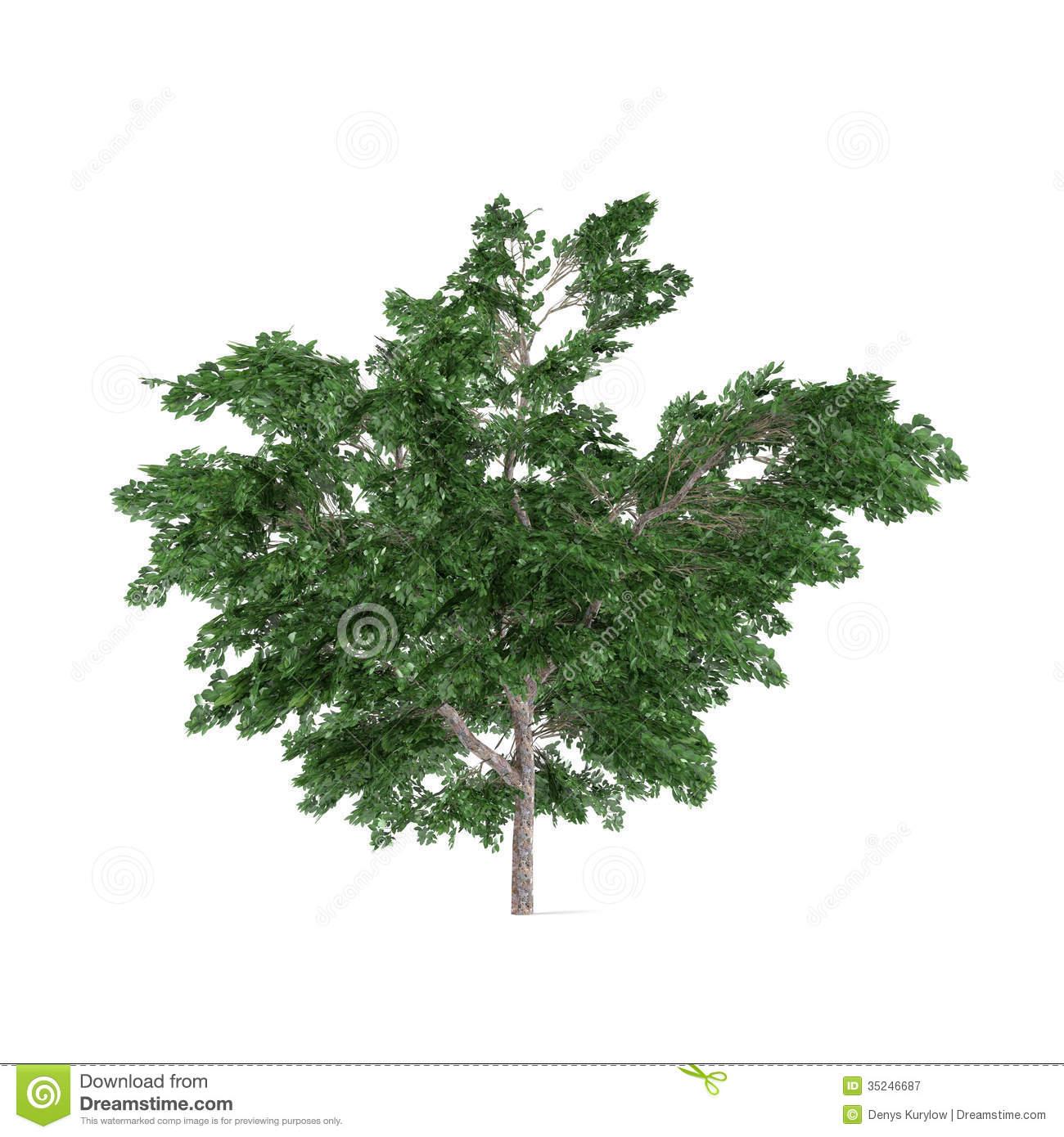 Platanus Tree Stock Illustrations.