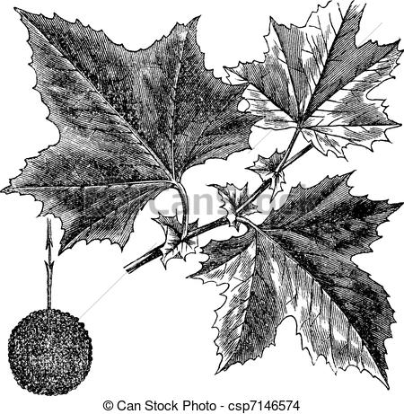 EPS Vector of American Sycamore or Platanus occidentalis, vintage.